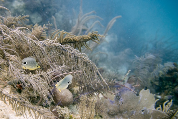 Foureye butterflyfish (chaetodon capistratus) che nuota underwater, isola di utila, isole della baia, hondur