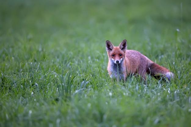 Fox in natura