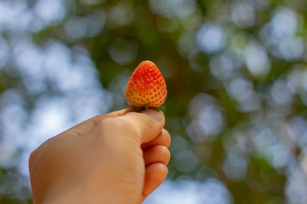 Fragola della holding della mano sulla priorità bassa della natura