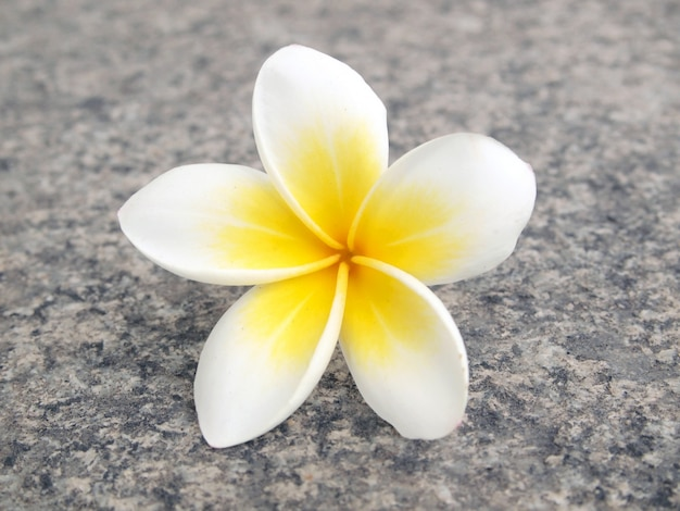 Frangipani fiore tropicale
