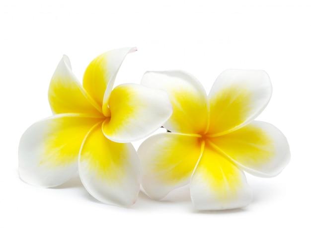 Frangipani fiore