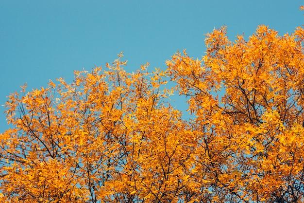 Frassini gialli e al tramonto.