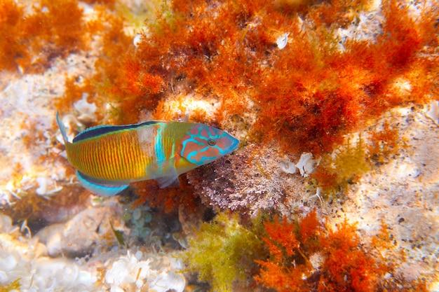 Fredy fish thalassoma pavo mediterranean