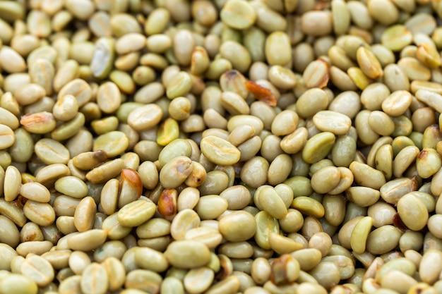 Fresche bacche di caffè arabica. fattoria biologica di caffè