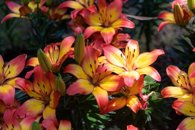 Fresco luminoso dolce colorato di lily fiore nel giardino.