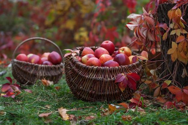 Fresco raccolto di mele. giardinaggio autunnale.