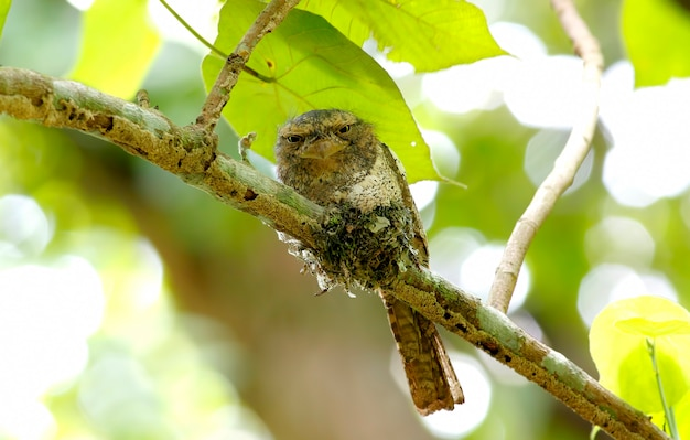 Frogmouth batrachostomus affinis di frogmouth blyth di javan frogmouth