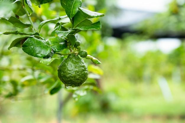 Frutta del bergamotto con la foglia verde sul ramo sul fondo del giardino