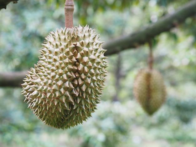 Frutta del durian che appende sull'albero