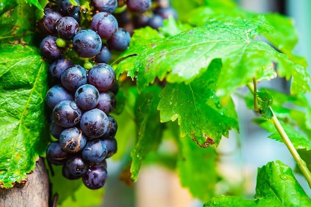 Frutta fresca dell'uva dagli alberi di vite