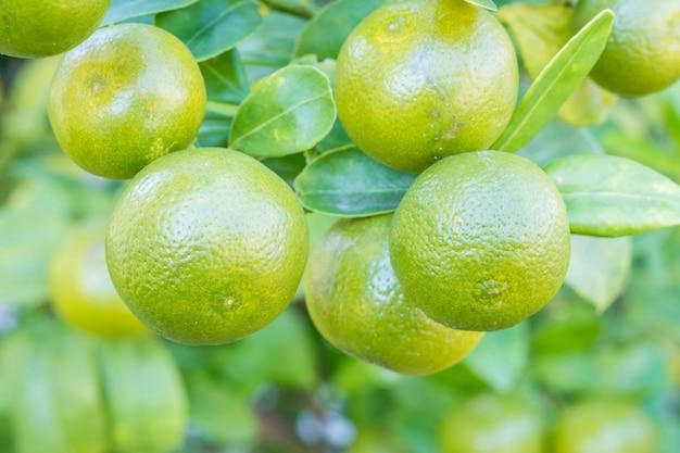 Frutta fresca di arancia in giardino