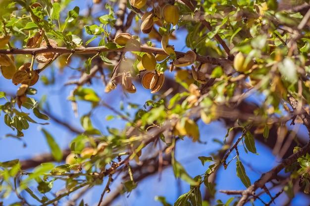 Frutta mandorla sull'albero la mandorla cresce splendidamente sui rami degli alberi