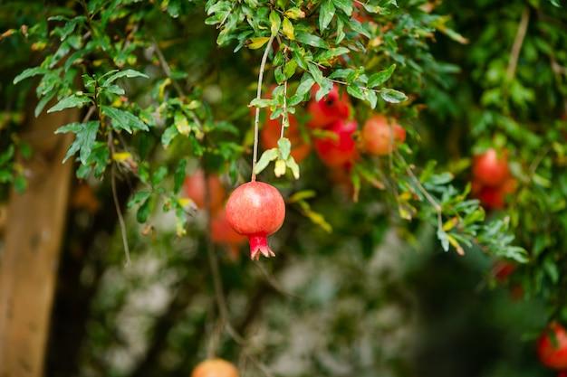 Frutta quasi matura del melograno che appende nell'albero