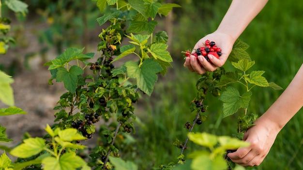 Frutti della tenuta della mano del primo piano