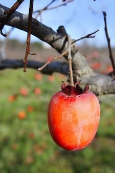 Frutti di cachi su agricoltura di campo di alberi