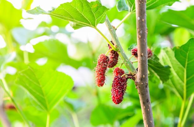 Frutti di gelsi rossi non maturi sul suo albero