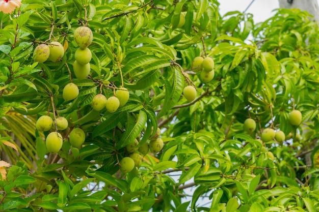 Frutti di mango verde sui rami dell'albero di mango.