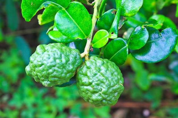 Frutti di sanguisuga o bergamotto sull'albero