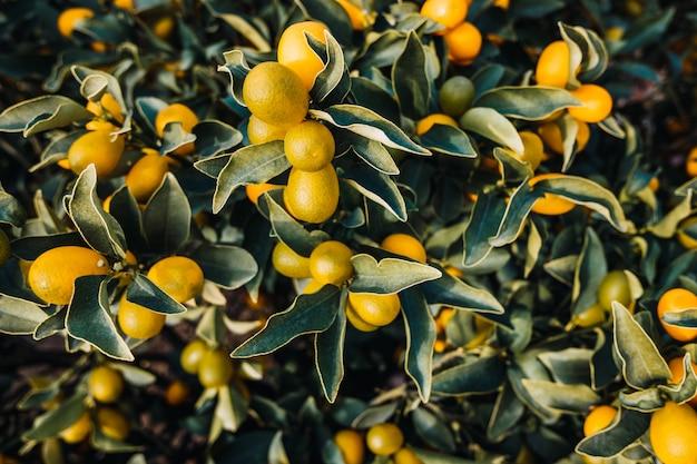 Frutti di un arancio fortunella, citrus sinensis, maturati al sole in una piantagione di valencia.