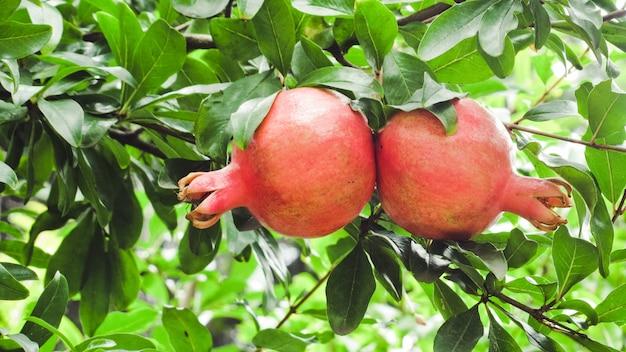 Frutti maturi del melograno sul ramo di albero