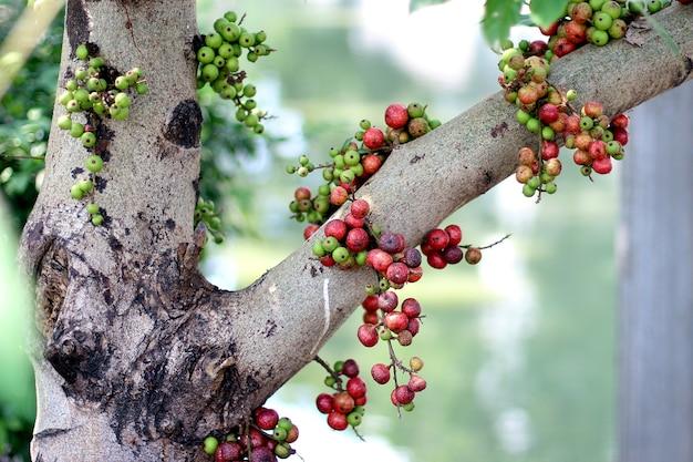 Frutti tailandesi del fico rosso sull'albero in foresta