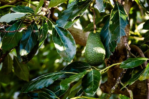 Frutti verdi dell'albero di avocado che pende dai rami, sfondo scuro.