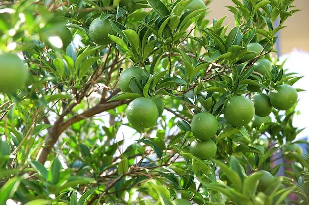 Frutti verdi e foglie dell'albero di mandarino