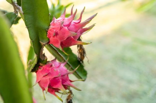Frutto del drago rosso sulla pianta, un pitaya o pitahaya è il frutto di diverse specie di cactus autoctone, frutto del drago