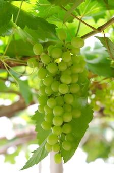 Frutto dell'uva