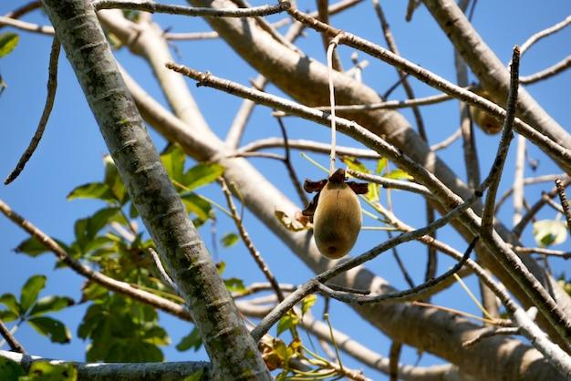 Frutto di baobab africano o pane delle scimmie