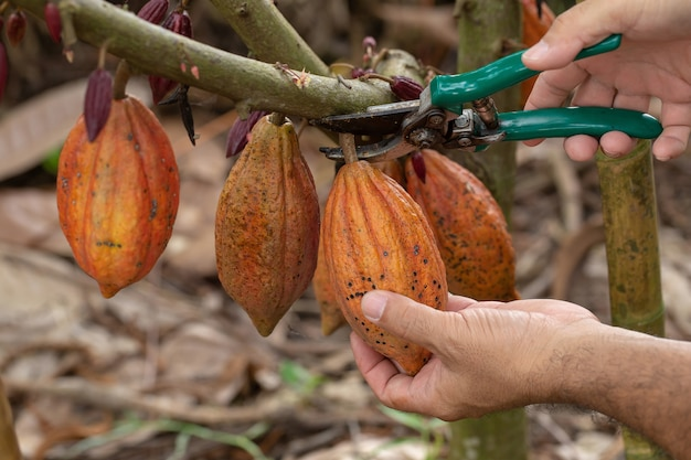 Frutto di cacao, baccello di cacao fresco nelle mani, cacao baccello sull'albero