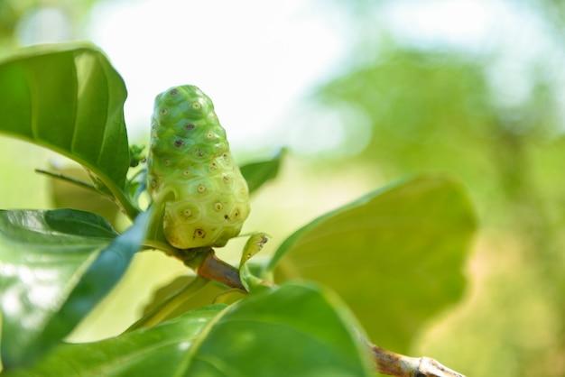 Frutto di noni sull'albero medicinali erboristici / altri nomi great morinda beach gelso o morinda citrifolia