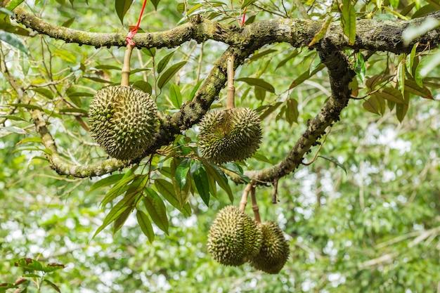 Frutto durian sull'albero - il durian è considerato il re dei frutti tropicali