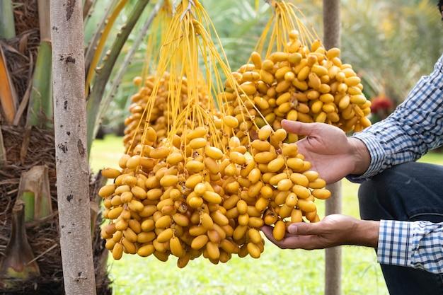 Frutto maturo della palma da datteri con i rami sulla palma da datteri