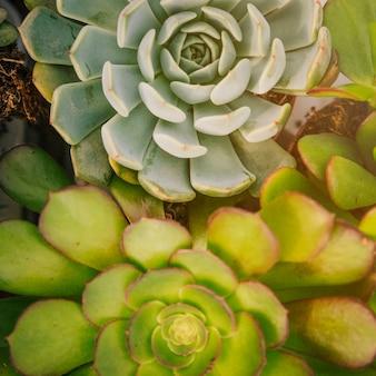 Full frame di echeveria e aeonium pianta succulenta
