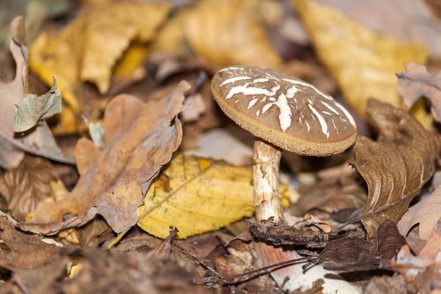 Funghi nella foresta di autunno. scena di funghi foresta d'autunno. muhsroom in autunno cadono le foglie.