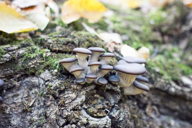 Funghi ostrica in autunno