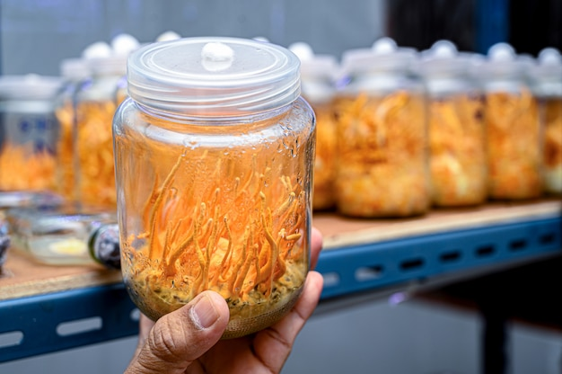 Fungo di cordyceps nella temperatura controllata della stanza del laboratorio