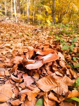 Fungo porcino che cresce nella foresta di autunno. raccolta dei funghi