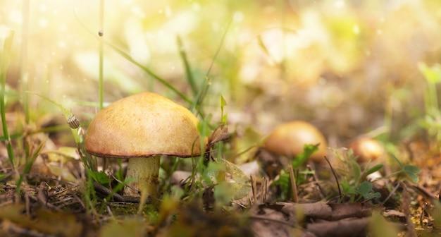 Fungo. sfondo autunnale. funghi del boletus di fantasia in primo piano leggero della foresta di mistero.