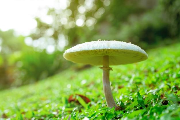 Fungo tossico bianco su erba verde