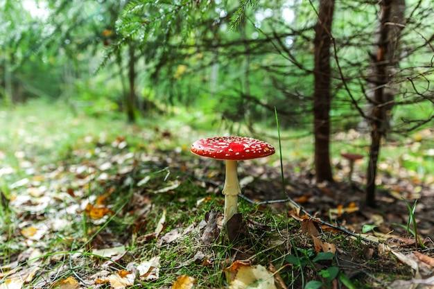 Fungo tossico e allucinogeno fly agaric in erba sulla foresta di autunno