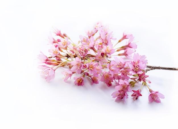 Fuoco molle del fiore di ciliegia rosa, fuoco selettivo ramo del fiore della primavera di fioritura di sakura