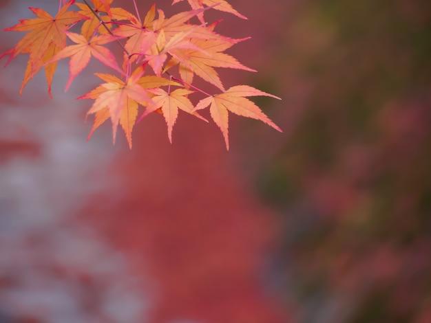Fuoco molle delle foglie di acero rosse sulle foglie rosse della sfuocatura nei precedenti di autunno
