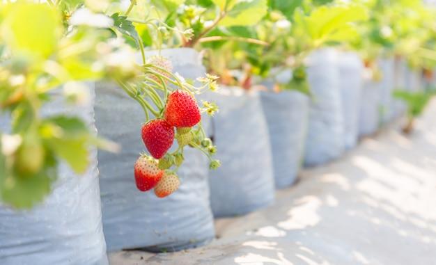 Fuoco selettivo delle fragole organiche rosse fresche nell'azienda agricola