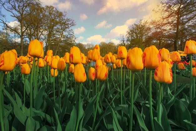 Fuoco selettivo su bei tulipani gialli al giardino di keukenhof dai paesi bassi