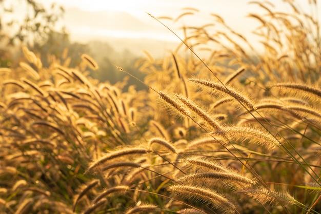 Fuoco selettivo sul fiore dell'erba asciutta con luce solare di alba. erba autunnale su alba. natura serale