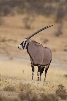 Fuoco selettivo verticale di un gemsbok catturato nel deserto