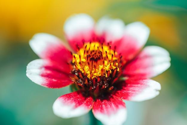 Fuoco selezionato macro bella macro arancio di zinia della carta da parati del fiore