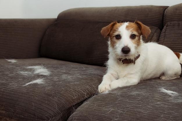 Furry jack russell dog, shedding hair durante la stagione molt che gioca su arredo grigio di divano.